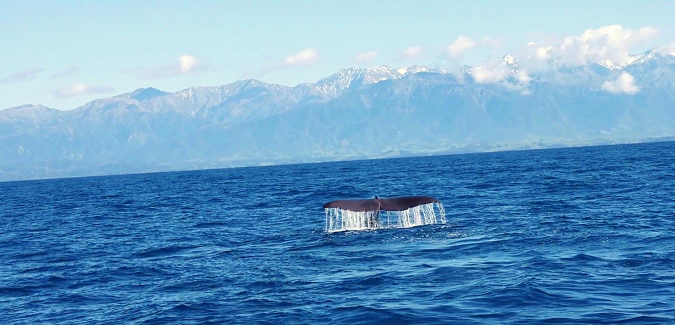 Kaikoura Whale Watching   Südinsel Neuseeland